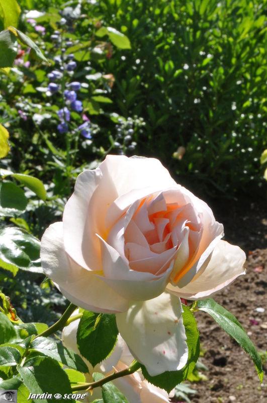 Une bien jolie rose……de porcelaine