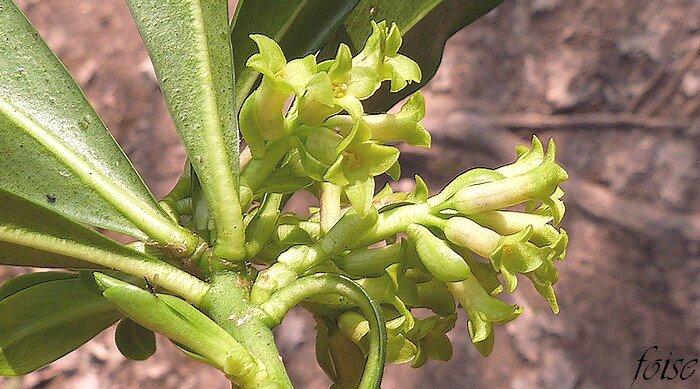 subsessiles de 3 à 7 bractées jaunâtres plus courtes que les fleurs