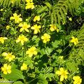 Ranunculus cortusifolius • Ranunculaceae
