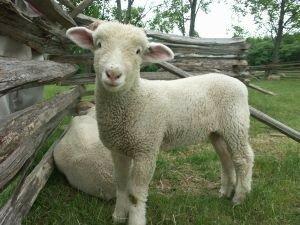 mouton_bebe