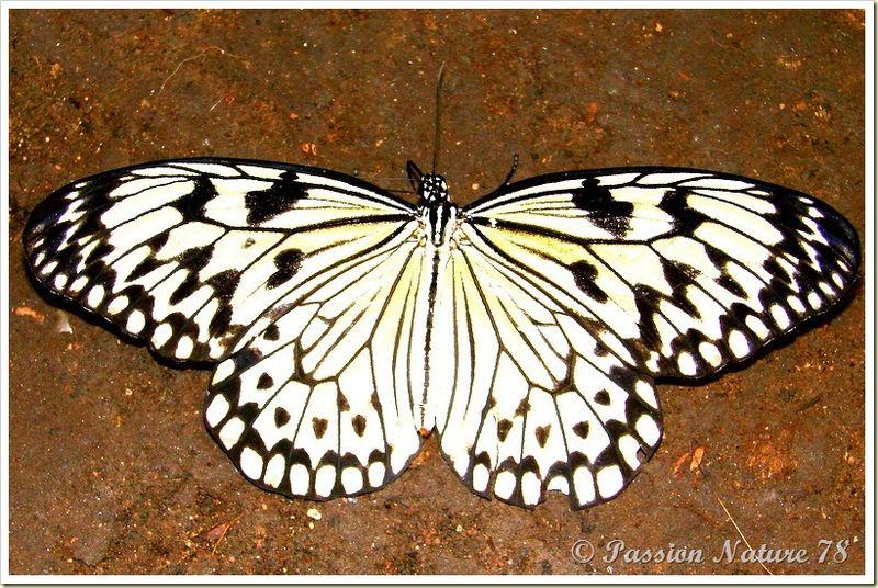 Les papillons (21)