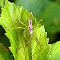Grande sauterelle verte - Tettigonia veridissima