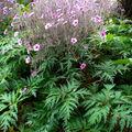 Geranium maderense • Géranium de Madère • Famille des Geraniacea