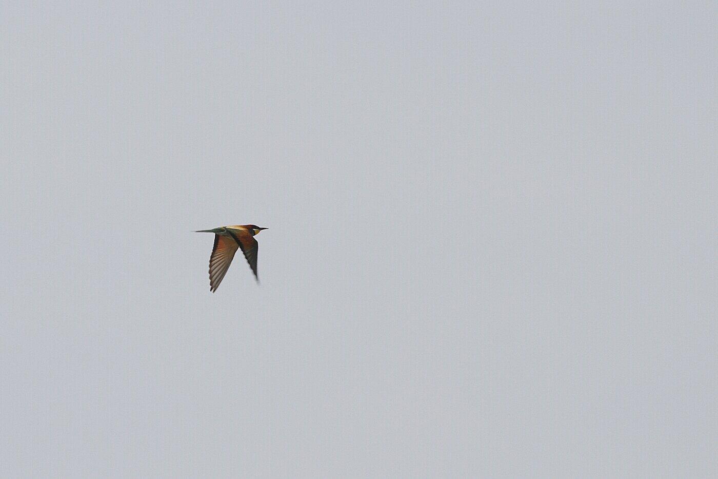 Lesbos oiseaux 07 - Guêpier d'Europe