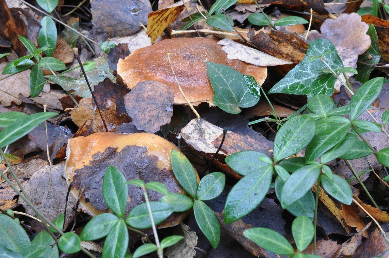 Cortinarius trivialis (1)