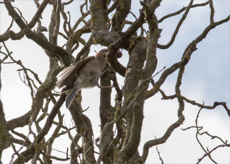 Oiseau geai prune 3 070819