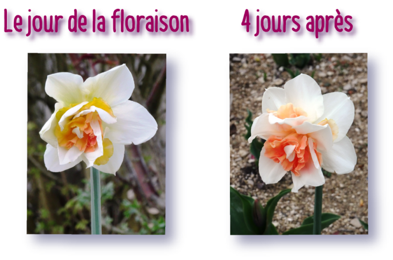 evolution de la couleur du narcisse replete