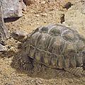 La tortue sillonnée