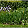 Iris d'eau.