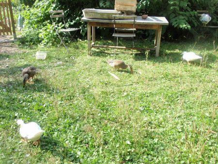 lâcher de canards