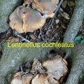 Lentinellus cochleatus