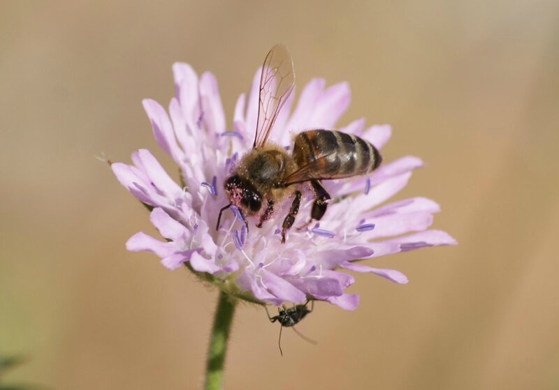 abeille- colletes succinctus 06