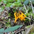 Calocera viscosa (1)