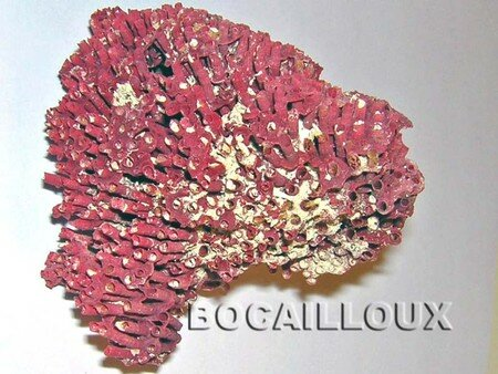CORAIL_Rouge_231__Philippines__1_