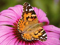 240px-0_Belle-dame_(Vanessa_cardui)_-_Echinacea_purpurea_-_Havré_(3)