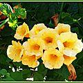 Bignone jaune 040715