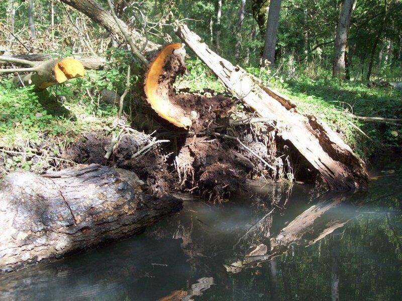vieux arbre tombé maré POITEVIN