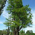Dans le Parc de Cassan - Cyprès chauve (plus de 250 ans)