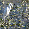 Aigrette sur le lac du bourget