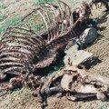 carcasse dromadaire