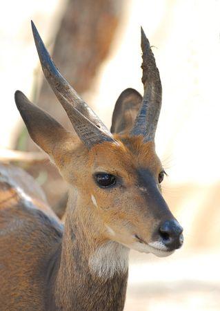 Guib_harnach__m_le__parc_Kruger__Afrique_du_Sud