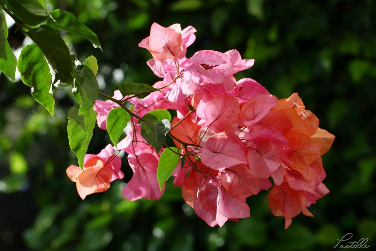 Bougainvilliers_IMG_6823