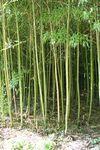 Bambous de chine