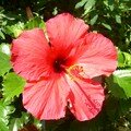 Hibiscus grands ouverts