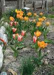 tulipe_w