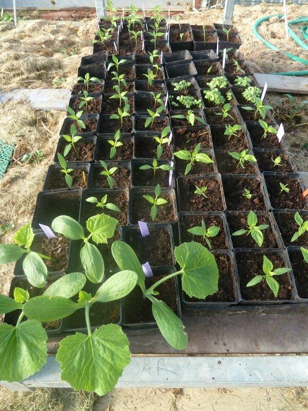 16-poivrons-courgettes-concombres