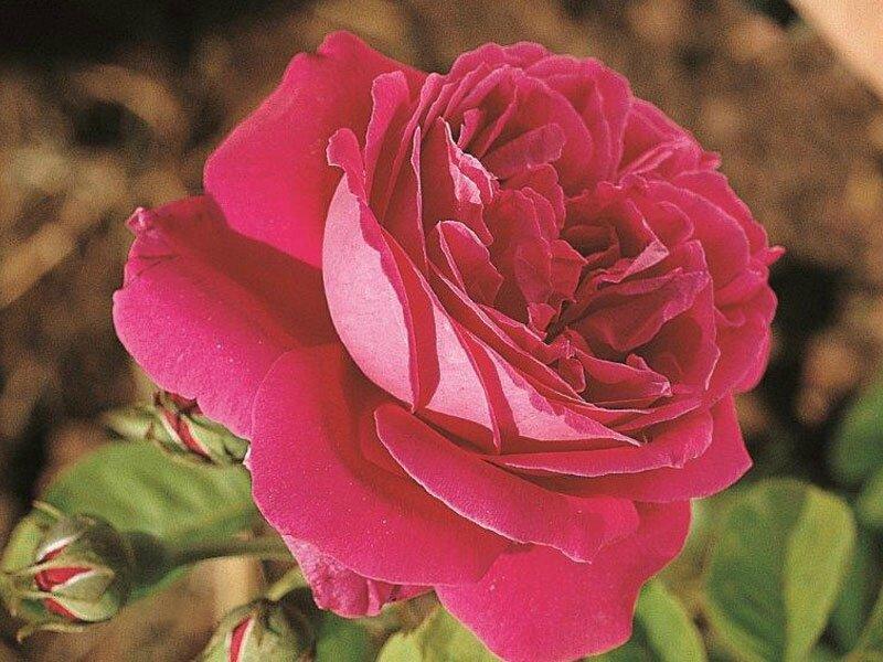 roses_lyonnaises-Comtesse_d_Oxford