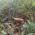 Cèpe d'été adulte dans l'herbe...
