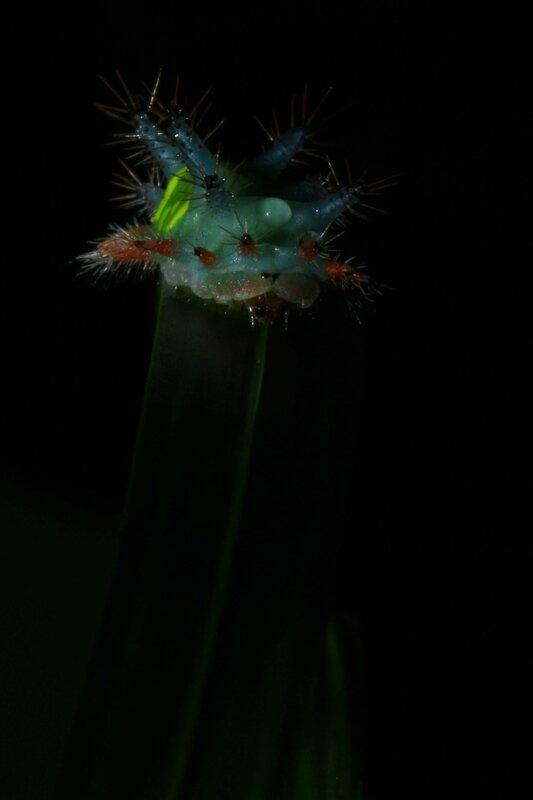 Acharia sp.