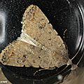 Noctuelle des jachères • Paradrina clavipalpis • Famille des Noctuidae