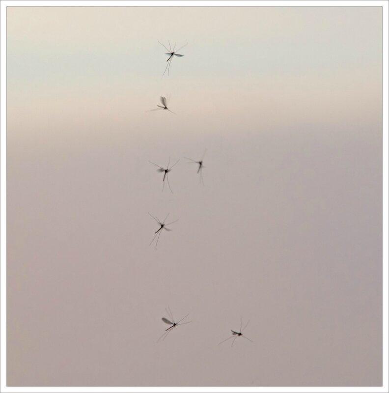 LC vol insectes soir 260116
