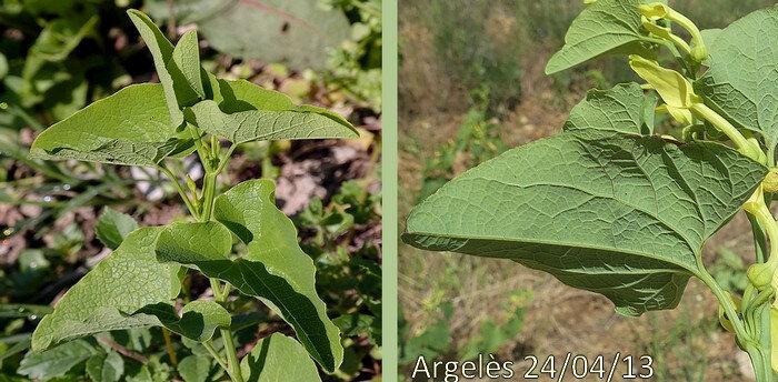 feuilles alternes de 6-10 cm pétiole égal à la moitié du limbe