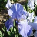 la fête des iris 3