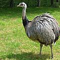 Aves - nandou - rhea americana