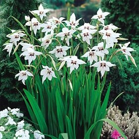 gladiolus summer-bulbs-acidanthera