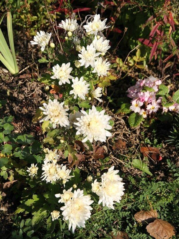 chrysantheme sur le massif cote sud