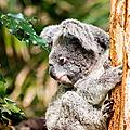 koala beauval2