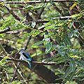 martin pêcheur du Sénégal près du lac Ziway