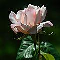 Rose Sophie 1 14-11-16