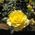 ...et 3ème rose 2010