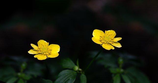 fleurs_bouton_d_or_buttercup_3471072__340
