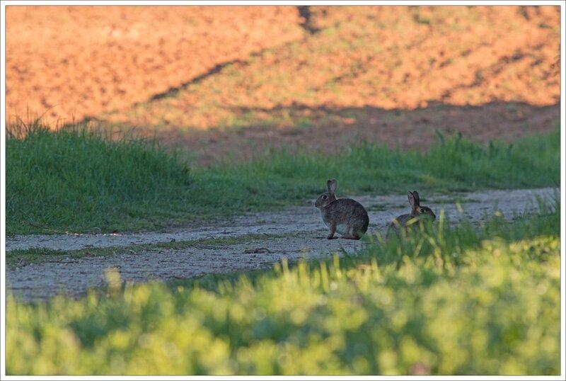 plaine lapin matin rond 060415