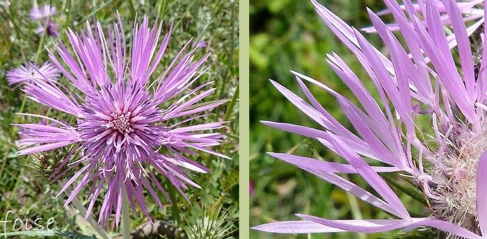 capitule 3-4 cm fleurs périphériques grandes rayonnantes
