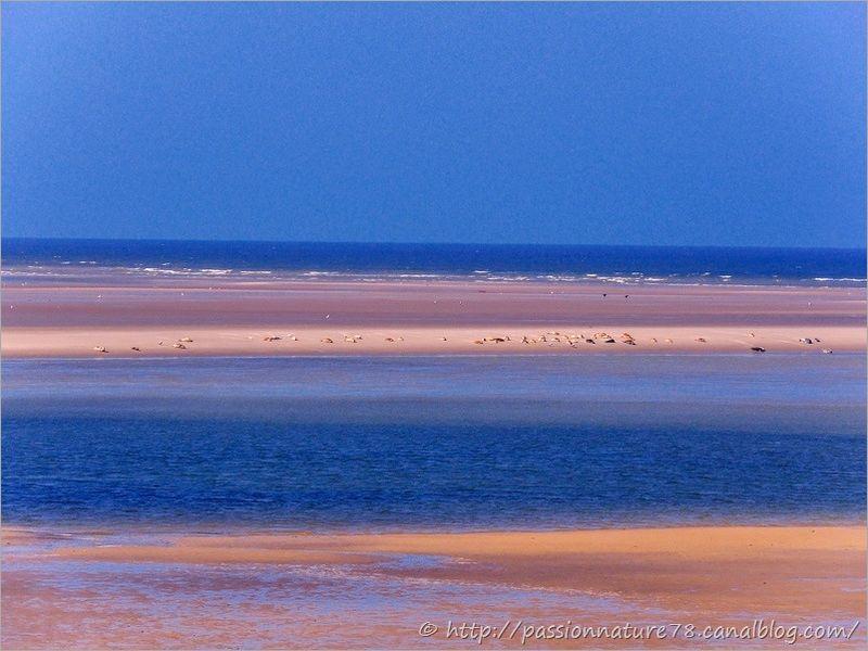 Phoques baie de Somme (19)