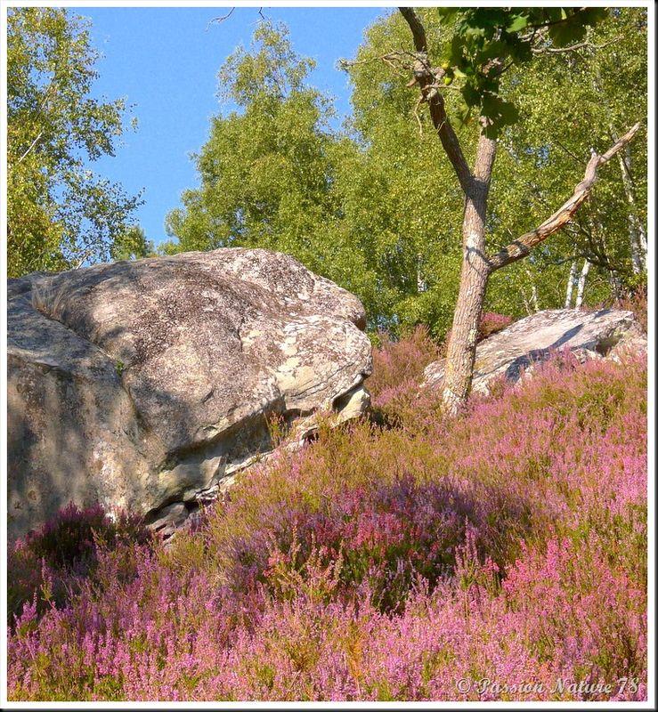 Balade dans la bruyère en forêt de Rambouillet (14)