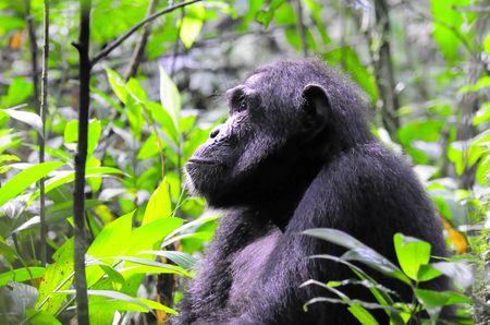 Chimpanz___parc_de_Kibale__Ouganda__6_